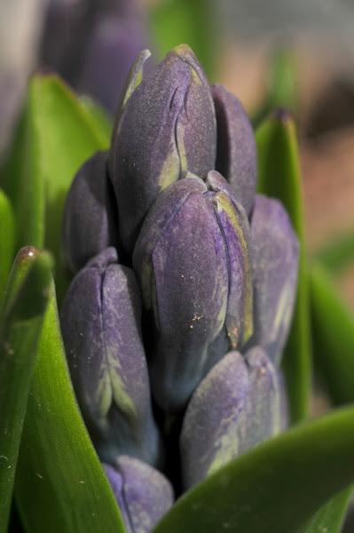 hyacinth, I think