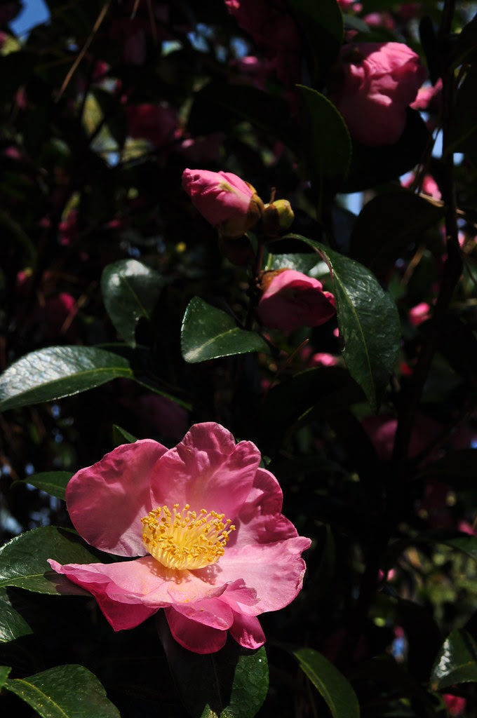 Camellia sasanqua 'Pink Butterfly' 2