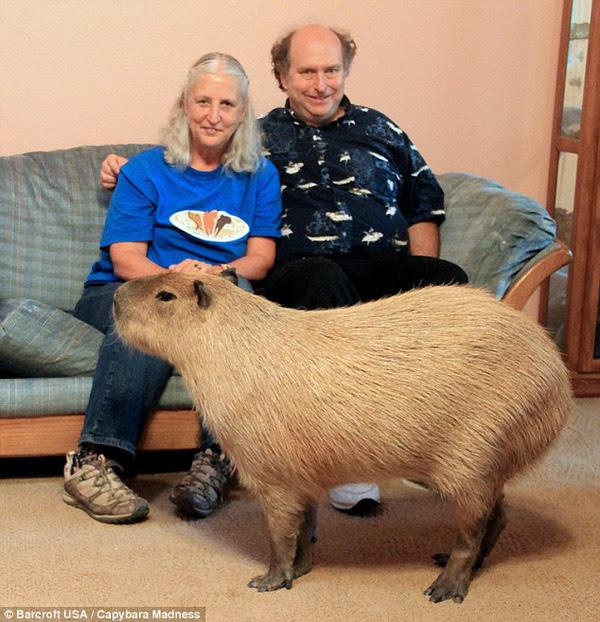 Không nuôi thú cưng như chó hay mèo trong nhà, cặp vợ chồng trung niên người Mỹ lại chọn kết bạn với… một chú chuột lang Nam Mỹ (capybara) mập mạp, dễ thương.