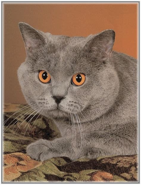 Do British Shorthair Cats Shed A Lot - British Shorthair