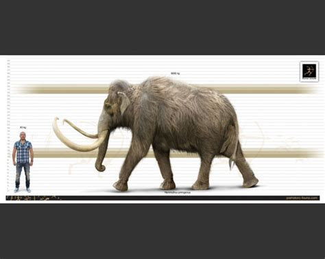 Woolly Mammoth (Mammuthus primigenius)