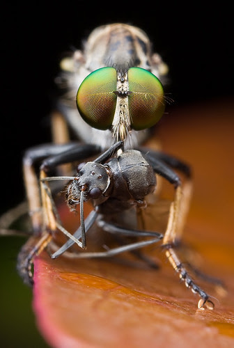 Robber fly with winged ant