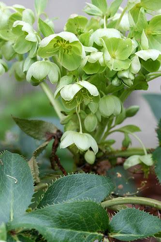 helleborus x sternii greener flowers