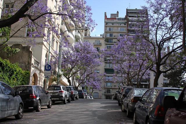 Jacaranda en Buenos Aires 003