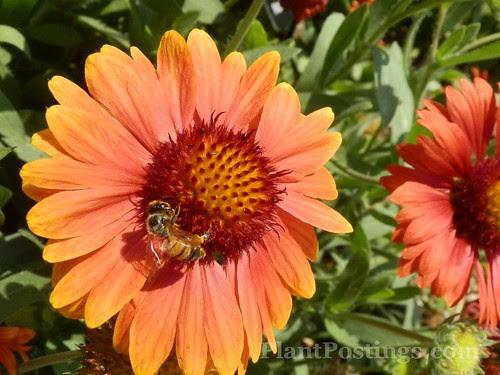blanketflowerbee