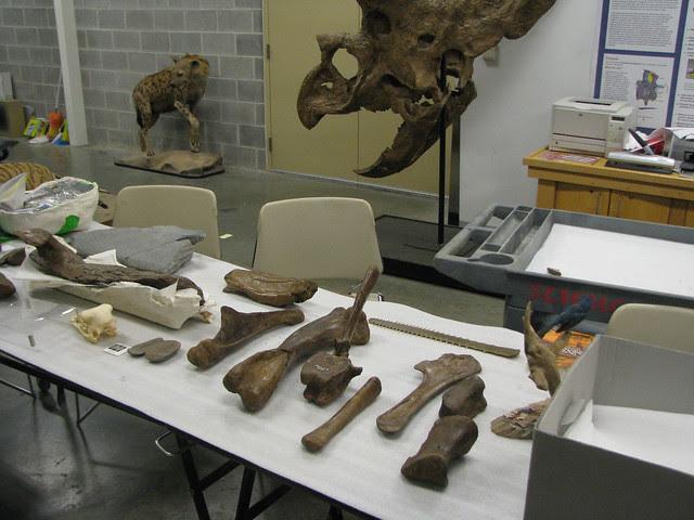 Edmontosaur bones