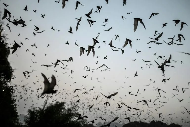 Bats with Covid-like viruses found in Laos: study thumbnail