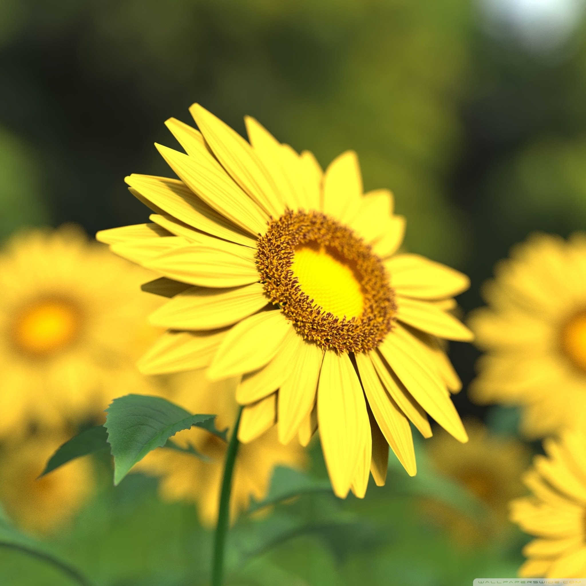 Sunflowers Wallpapers (64+ background pictures)