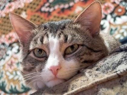 Cuidados y salud del gato doméstico