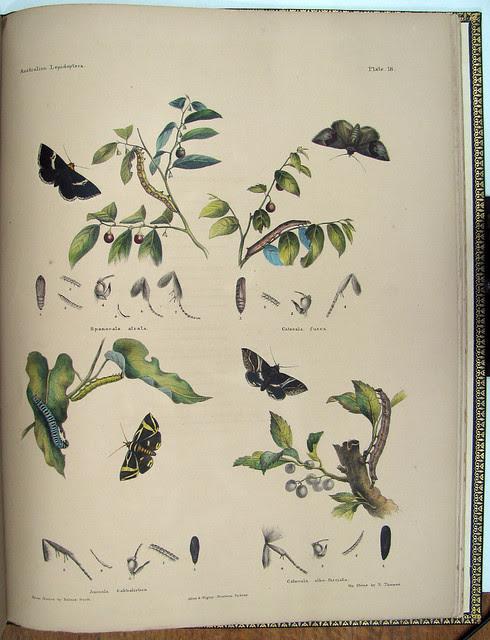 hand-coloured lepidoptera illustration