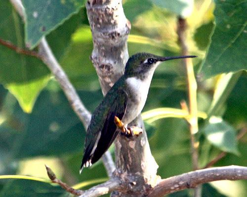 More Hummingbirds!