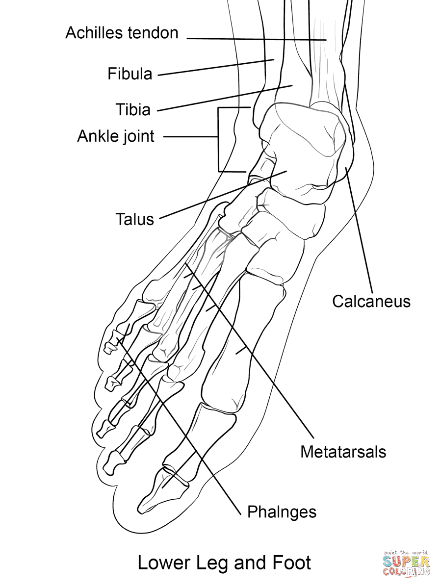 human foot bones coloring pages