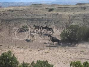 Wild horses CLOUD,BLM round-up,Wild horses horse slaughter