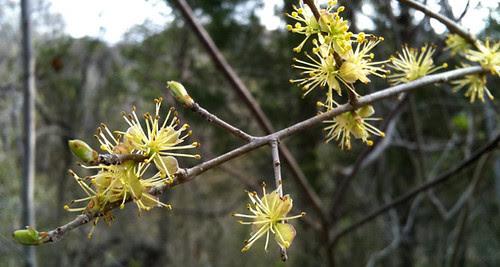 yellowblossoms