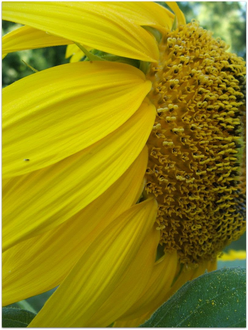 Sunflower by Angie Ouellette-Tower for godsgrowinggarden.com photo 013_zpsbefb893b.jpg