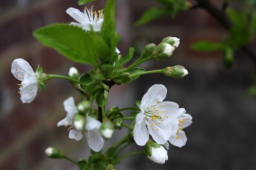 Cherry blossom 28:4:13