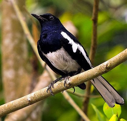 570 Gambar Binatang Burung Kacer Terbaru