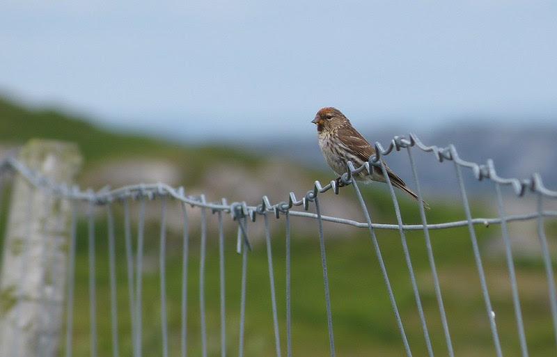 P1050662_2 - Lesser Redpoll, Isle of Mull