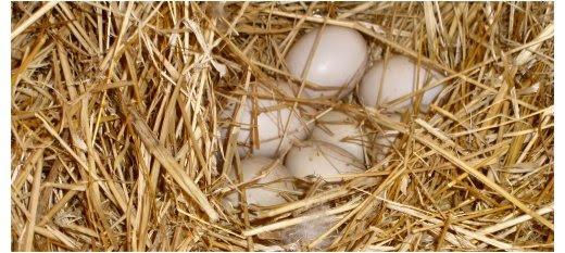 Ovos de gansa