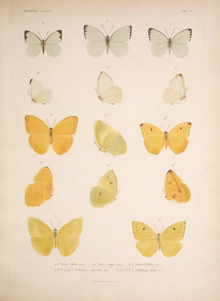 natural history illustration from  Cuba 1838-1857