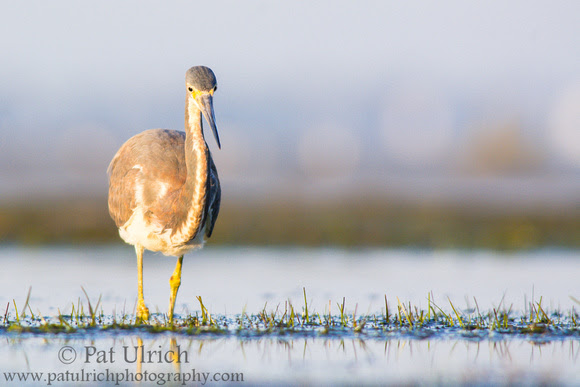 Tricolored heron on the prowl at Bunche Beach Preserve, Florida