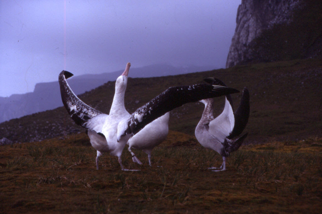 http://upload.wikimedia.org/wikipedia/commons/5/5b/Kerguelen_-_Diomedea_exulans_-_wooing.jpg