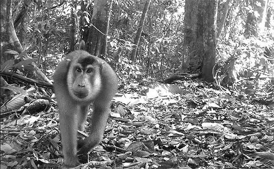 Macaca que vive na Indonésia em foto sobre mamíferos tirada por câmera-armadilha; veja galeria de foto