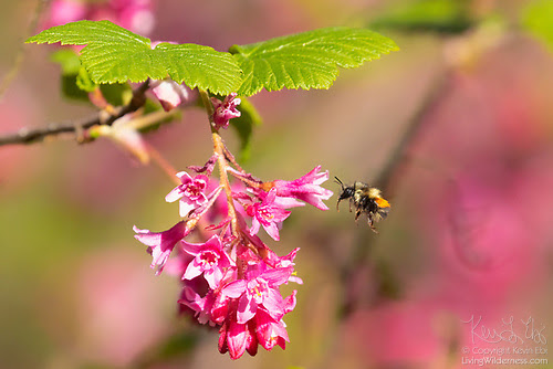 Honeybee and Flowering Currant, Washington