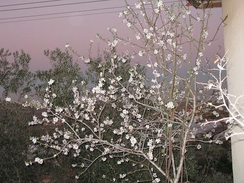Purim tree