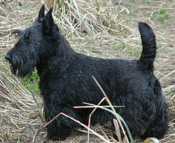 Scottish Terrier Best Small Dogs