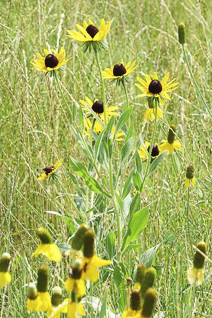 IMG_5651BlackEyedSusansPrairieConeflowers