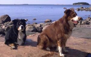 Koirien syljestä alkaa suurtutkimus – Osoittaa, miksi lemmikki noutaa ja paljastaa totuuksia myös ihmisen aivoista (800 x 505)
