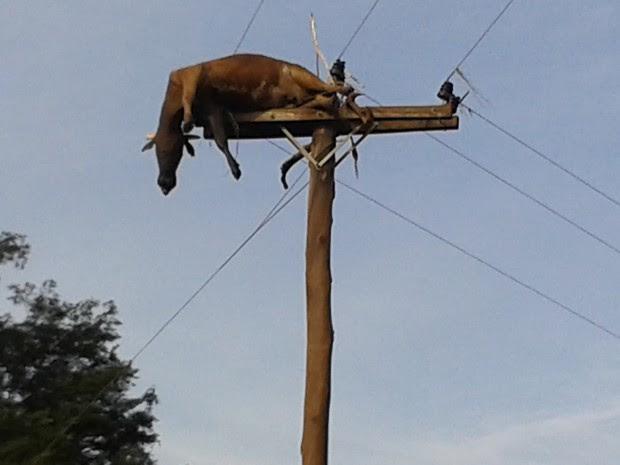 Vaca está sendo comida por corvos (Foto: Isabel Malheiros/RBS TV)