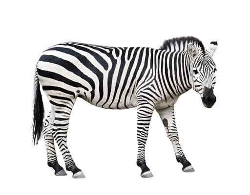 Zebra Boyama Akriliksanat Cam Resim Buy Zebra Boyama Product On