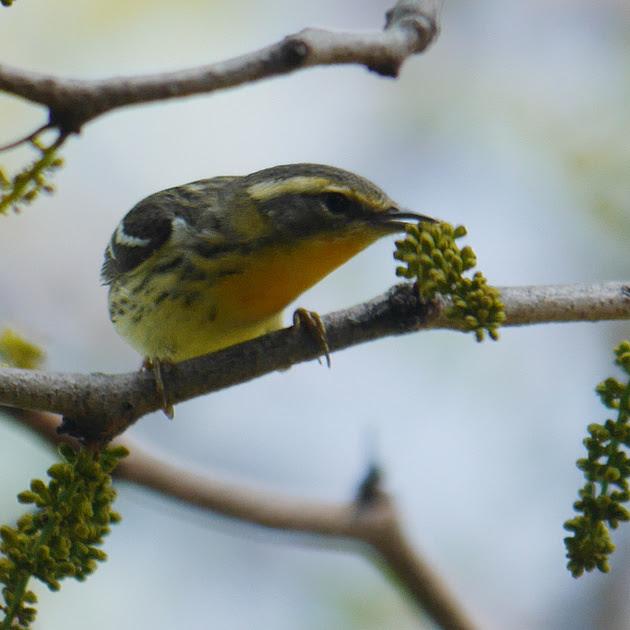 Ed Gaillard: birds &emdash; Blackburnian Warbler, Central Park