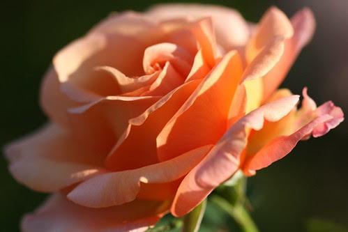 10.10.10 - Rose @ Smithsonian Gardens