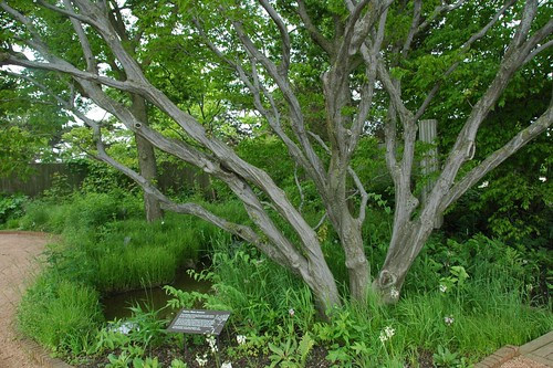 Carpinus caroliniana, Ironwood
