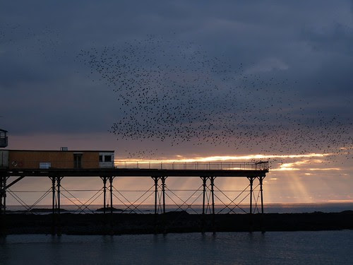 12071 - Starlings over Aberystwyth Pier