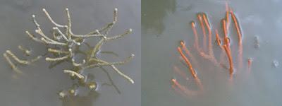 Seafan-Order Gorgonacea (Changi)