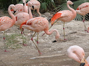 English: Group of Flamingo.