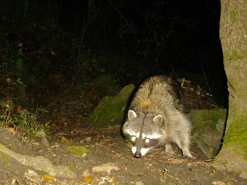 older raccoon