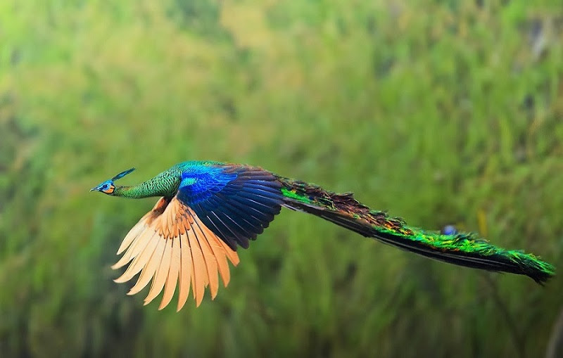 Beautiful pictures - peacock flies