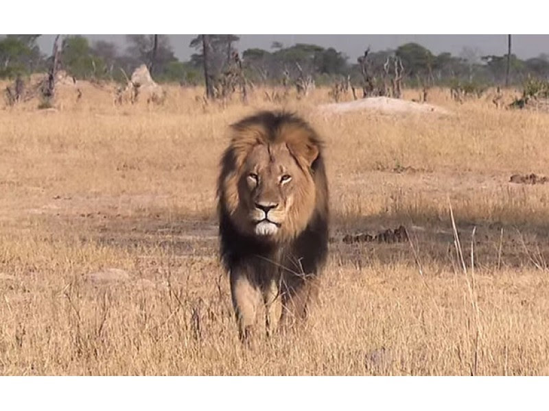 U.S. Dentist Wanted For Death Of Cecil, Zimbabwe's Most Famous Lion, On Pay-To-Kill Hunt