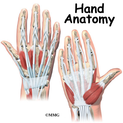 Hand Anatomy | eOrthopod.com