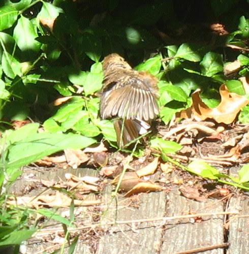 nature notes birdspwing
