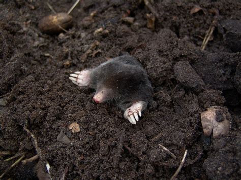 Moles: How to Identify and Get Rid of Moles in the Garden or Yard   The Old Farmer's Almanac