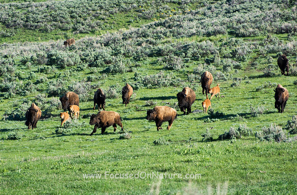 Bison Race