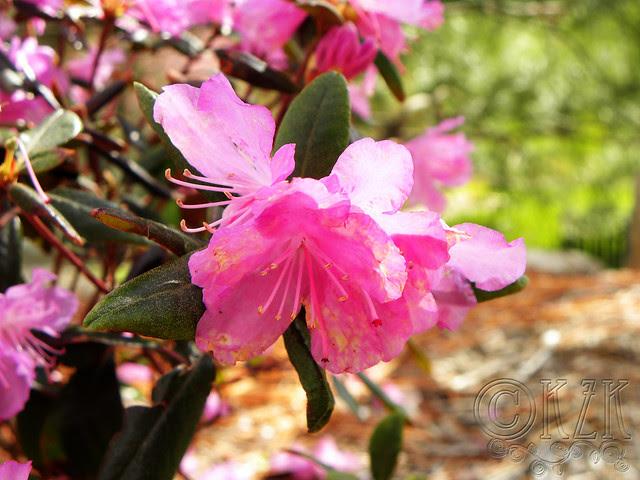 DSCN3240 PJM Rhododendron