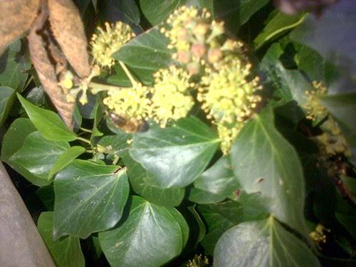 Ivy flower Nov 13