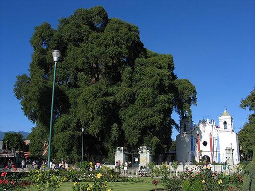 Tule Tree next to a church